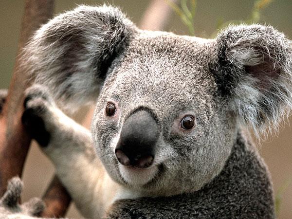 Koala Rehabilitation