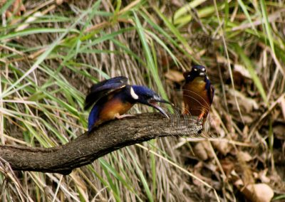 Azure Kingfisher Feeding time