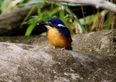 Azure kingfisher chick
