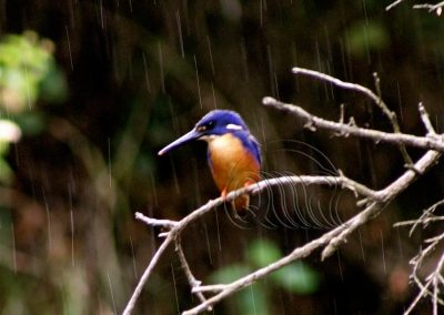 Azure kingfisher in the rain