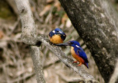 Azure kingfisher with chick