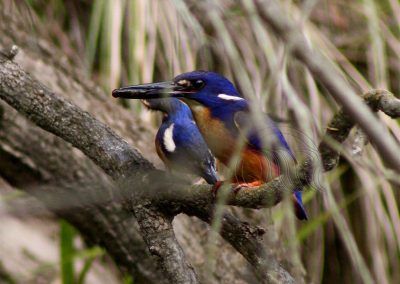 Azure Kingfisher parent with chick