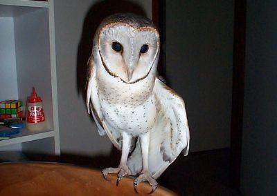 Barn Owl Tyto alba by Ross