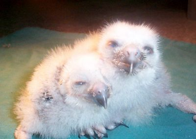 BooBook Owl chicks by Ross