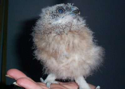 Boobook Owl chicks even older by Ross