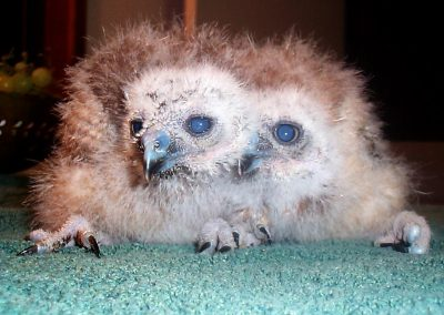 Boobook Owl chicks older by Ross