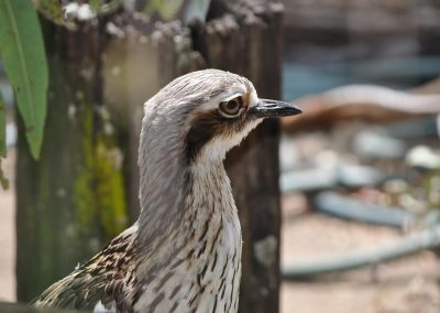 Bush Stone Curlew Burhinus grallarius close up by Ross
