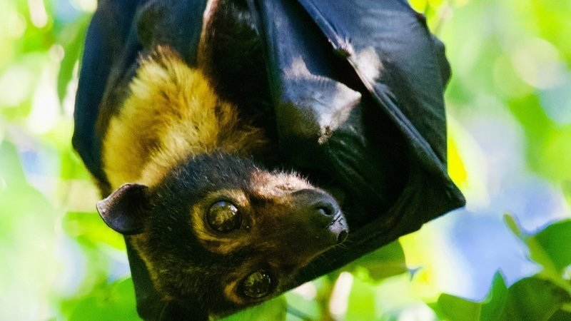 Council: Preserve the endangered flying foxes species
