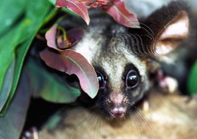 Greater Glider chilook