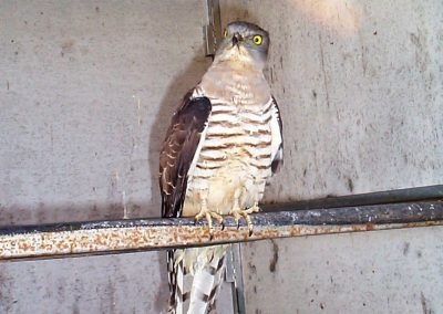 Pacific Baza Aviceda subcristata rehab by Ross