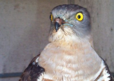 Pacific Baza Aviceda subcristata rehab close up by Ross
