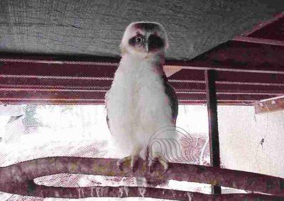 Powerful Owl Chick
