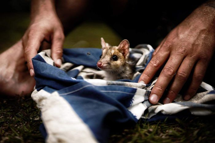 Researchers fear for quolls after bushfires destroy habitat and create haven for predators