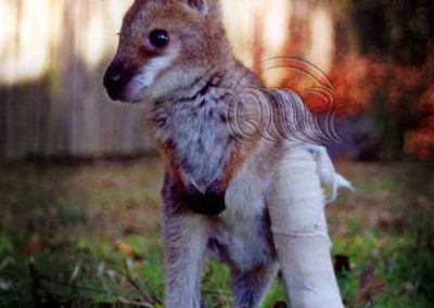 Red Neck Wallaby orphan joey broken leg