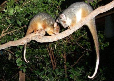 Ringtail possums
