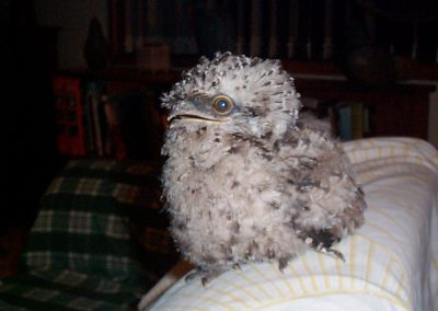 Tawny Frogmouth Chick by Ross