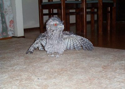 Tawny Frogmouth by Ross