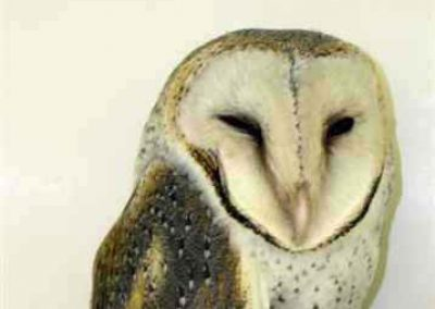 Barn owl by Janet Gamble