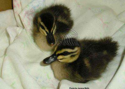Black duck chicks by Janene Wells
