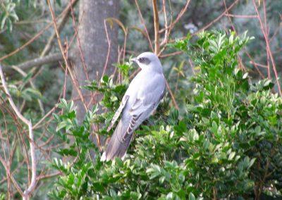 Black face Cuckoo Shrike