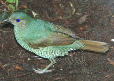 Bowerbird satin female