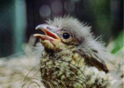 Bowerbird satin nestling older