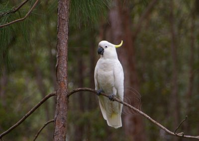 Cockatoo sulphur-crested