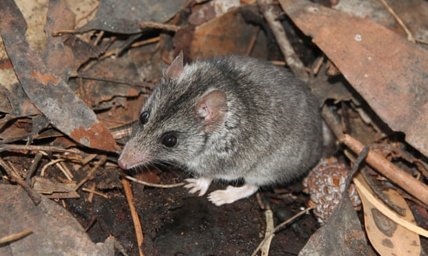 Hopes of saving Kangaroo Island dunnart