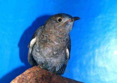 Fan tailed cuckoo by Fiona Bateman