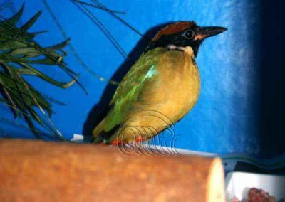 Noisy pitta by Fiona Bateman