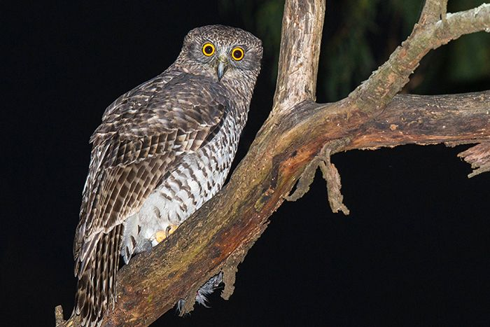 Love calls of powerful owls ring out along eastern Australia
