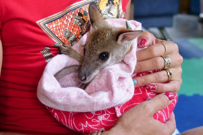 Wallabies starving as bushfire relief hits supplies and north Queensland drought drags on