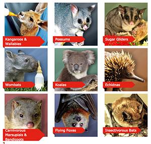 Affiliations wombaroo wildlife